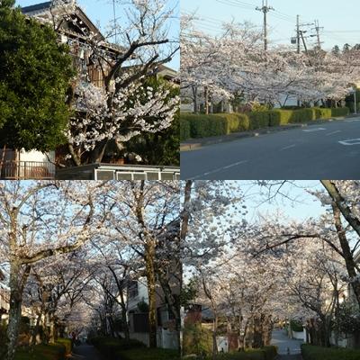 桜満開です。page.jpg